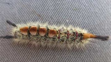 tussoc-moth- caterpillar